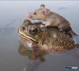 ...搭载落水鼠小弟过河