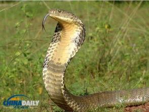 厕所时突然遭到一条蛇的攻击,下体不幸被咬伤.   这名男子居住在以...
