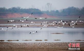 ...24日,在江西鄱阳湖都昌候鸟自然保护区拍摄的大批冬候鸟.连日...