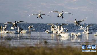 ...鄱阳湖候鸟保护区迎来全年最佳的观鸟季节. 新华社 傅建斌摄-大批...