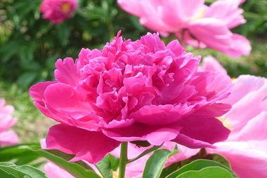 芍儿花-更有完全以芍药构成专类花园称芍药园.芍药又是重要的切花,或插瓶...