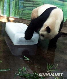 五月丁香啪啪给-6月15日,武汉动物园的大熊猫