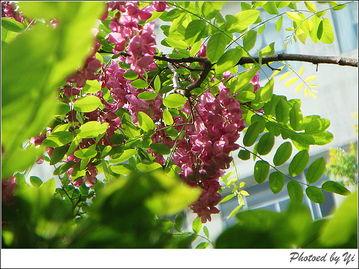 紫槐树的眼泪-梦想,当一地的紫色落英唤起为赋新诗强言愁的年代的时侯,都会为那...