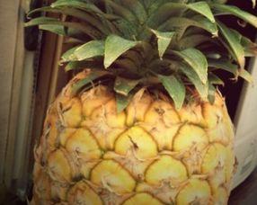 ...说大家又在区分凤梨和菠萝了 傻傻分不清楚-有图有猛料第184期 韦小...