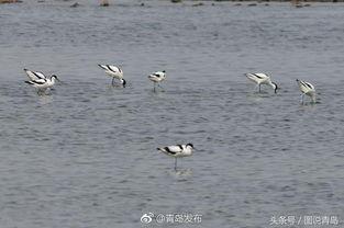 ...日,各种鸻鹬类候鸟集中出现在胶州湾河流入海口、潮间带等沿海湿...