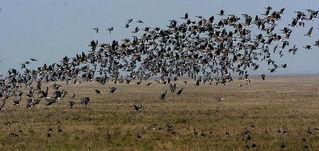 1 鄱阳湖进入候鸟越冬高峰
