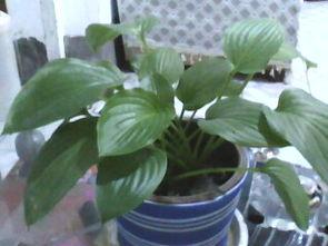 这是什么花叶子绿绿的很柔美夏季开白色的花
