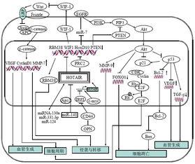 长链非编码RNA HOTAIR在恶性肿瘤中的研究进展