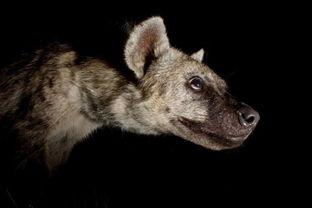 博狗bf88-2009年11月,摄影师卡尔特-博泰尔斯在南非大克鲁格尔公园中拍摄到...