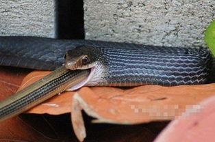 惊奇 美上演 蛇吞蛇 恐怖场景