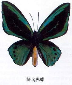 ...;前翅的腹面呈黑色,中央为绿松石色,覆以黑色脉纹.雌蝶比雄蝶...