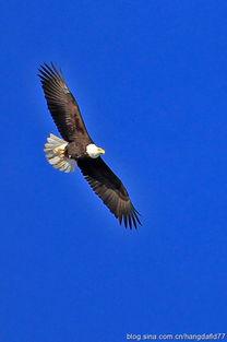 美国鸟类摄影 雄鹰翱翔蓝天