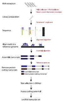 长链非编码RNA LncRNA 的研究策略
