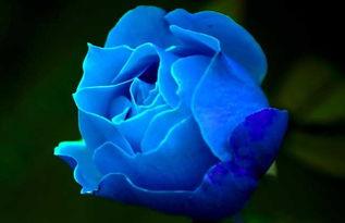 蓝玫瑰的花语是什么