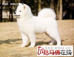 ...方法 萨摩耶犬多少钱一只 2