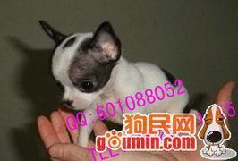 吉娃娃犬纯种吉娃娃吉娃娃幼犬纯种吉娃娃 北京通州区狗市