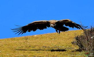 ...西藏版向雄鹰般在蓝天下展翅高飞