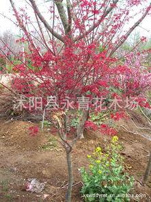日本红枫盆景厂家 日本红枫盆景批发市场 阿里巴巴