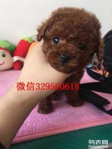 ...宾的 玩具贵宾多少钱 标准贵宾犬出售