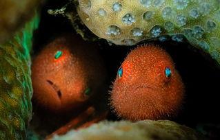 ...头虾虎鱼身上有黄色和白色的点.(网页截图)-海底万花筒 探秘色...