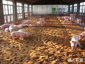 发酵床养猪技术推广 图片