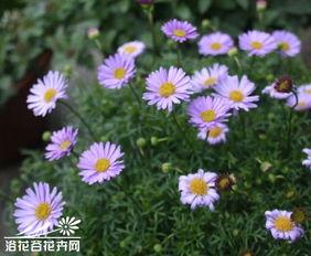 五色菊图片