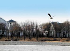 开江前后,这些候鸟陆续飞回来了