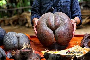 传说亚当夏娃因偷吃禁果被逐出伊甸园时,吃的就是海椰子.   雄性海...