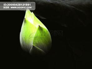 一朵大如车轮的白莲花.释迦牟尼... 每一道金光又化作一朵朵千叶白莲...