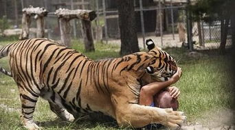 ...头狮子同住 ,人与动物和谐相处瞬间 图