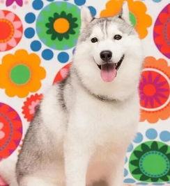 西尔维娅的哈士奇今年4岁了图片第25732张 狗狗搞笑图片