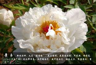 牡丹品种介绍及图片-牡丹花品种及图片