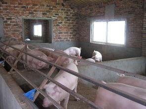 阜宁的发酵床养猪