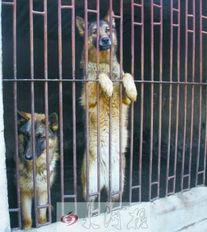 姐妹俩跟狗做爱-... 表情冷峻与狗交配子孙8只(组图)-蒙古草原狼