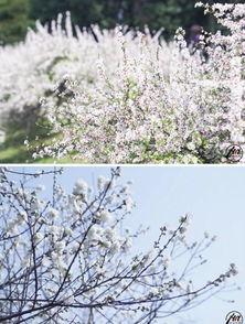 千桃园,景如其名,是桃花的天堂.除了老牌赏花点太子湾,这里的桃...