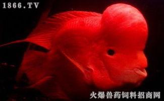 财神鱼价格,财神鱼多少钱一条