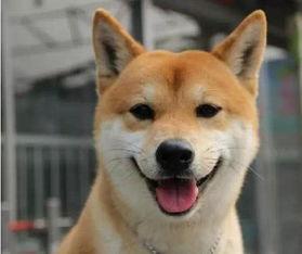 金毛 哈士奇 柴犬既会卖萌,又能犯二,那个是你的最爱呢