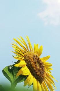 向日花向阳花-向日花